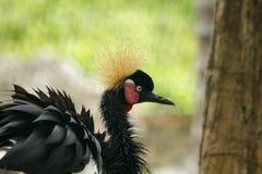 Zwarte Bekroonde Kraan in de Dierentuin royalty-vrije stock foto's