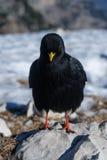 Zwarte bergvogel Royalty-vrije Stock Foto