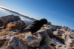 Zwarte bergvogel Royalty-vrije Stock Afbeeldingen