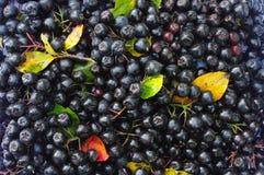Zwarte berrys van chokeberry en kleur doorbladert in de herfst als achtergrond Royalty-vrije Stock Afbeeldingen