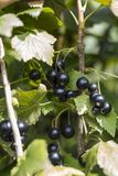 Zwarte bes in de tuin royalty-vrije stock fotografie