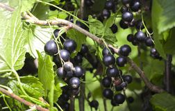 Zwarte bes in de tuin royalty-vrije stock foto's