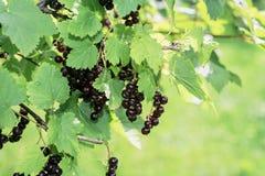 Zwarte bes op groene struik royalty-vrije stock foto's