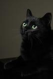 Zwarte binnenlandse kat royalty-vrije stock fotografie