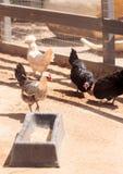 Zwarte, bleekgele, bruine, en witte kippen Stock Foto's