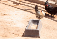 Zwarte, bleekgele, bruine, en witte kippen Stock Afbeelding