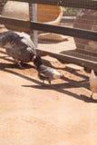 Zwarte, bleekgele, bruine, en witte kippen Royalty-vrije Stock Afbeeldingen