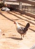 Zwarte, bleekgele, bruine, en witte kippen Stock Foto