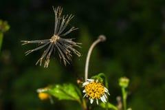 Zwarte bloem gelijkend op spinbenen royalty-vrije stock afbeelding
