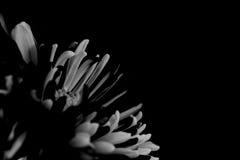 Zwarte bloemmacro geschotene achtergrond Stock Foto