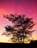 Zwarte boomcontour in achterzonsondergangpurple en rood licht Royalty-vrije Stock Foto's