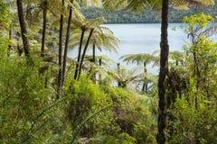 Zwarte boomvarens die in regenwoud in Nieuw Zeeland groeien royalty-vrije stock afbeelding