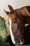 Zwarte, bruine en witte paarden in box Stock Foto