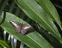 Zwarte bruine en witte vlinder Royalty-vrije Stock Afbeelding