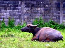 Zwarte buffelszitting royalty-vrije stock foto
