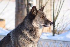 Zwarte Canadese wolf op de witte sneeuw Royalty-vrije Stock Fotografie