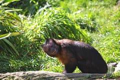 Zwarte capuchin aap met een grappig gezicht stock foto