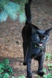Zwarte Cat Hissing Royalty-vrije Stock Fotografie
