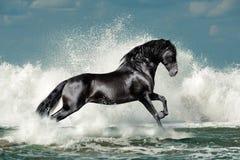 Zwarte $ce-andalusisch hengst en overzeese golf Stock Foto's