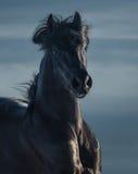 Zwarte $ce-andalusisch hengst - portret in motie Stock Afbeelding