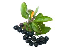 Zwarte chokeberry Royalty-vrije Stock Afbeeldingen