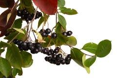 Zwarte Chokeberry Royalty-vrije Stock Foto's