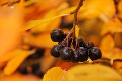 Zwarte chokeberry Stock Afbeeldingen