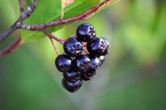 Zwarte chokeberry, Aronia-melanocarpa Stock Afbeeldingen