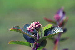 Zwarte chokeberry, Aronia-melanocarpa Royalty-vrije Stock Afbeelding