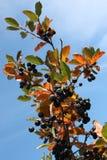 Zwarte chokeberry (melanocarpa Aronia) Royalty-vrije Stock Foto's