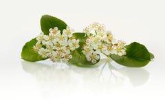 Zwarte chokeberry van bloemen Royalty-vrije Stock Foto's