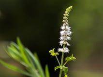 Zwarte Cohosh: Witte Efflorescentie, Aardthema stock afbeeldingen