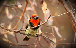 Zwarte collared barbet Stock Afbeeldingen