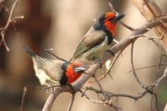 Zwarte Collored-Barbets Stock Fotografie