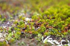 Zwarte crowberry, Empetrum-nigrum in toendra Stock Fotografie