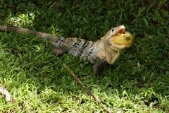 Zwarte ctenosaur met fruit Stock Foto's