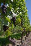Zwarte de druivenwijngaard van de wijn Stock Foto's