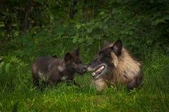 Zwarte de wolfszweerneus van Fasegrey wolves canis aan Neus stock afbeelding