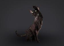 Zwarte Devon rex kat Royalty-vrije Stock Afbeelding