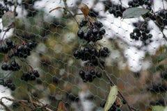 Zwarte die bessen tegen vogels worden beschermd Stock Foto's