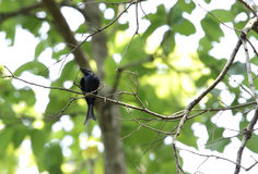 Zwarte die Drongo op een boom in Jim Corbett wordt neergestreken Stock Afbeelding