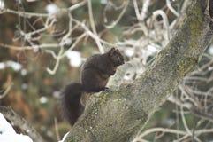 Zwarte die eekhoorn op boomtak wordt neergestreken Royalty-vrije Stock Afbeeldingen