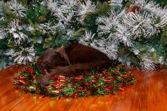 Zwarte die kat in de staart wordt genesteld van de Kerstmiskroon over rand wordt gedrapeerd stock foto