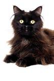 Zwarte die kat op een witte achtergrond wordt geïsoleerd Royalty-vrije Stock Afbeeldingen