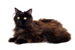 Zwarte die kat op een witte achtergrond wordt geïsoleerd Stock Afbeelding