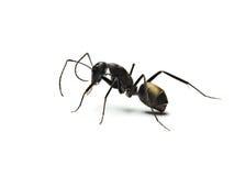 zwarte die mier op witte achtergrond wordt geïsoleerd stock foto's