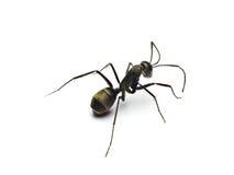 zwarte die mier op witte achtergrond wordt geïsoleerd royalty-vrije stock afbeeldingen