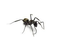 zwarte die mier op witte achtergrond wordt geïsoleerd royalty-vrije stock fotografie