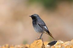 Zwarte die Redstart op een rots wordt neergestreken Stock Foto's