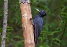Zwarte die specht op een droge boomboomstam wordt neergestreken royalty-vrije stock foto's